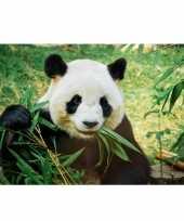 Feest cadeau pandaliefhebber poster panda beer 84 x 59 cm