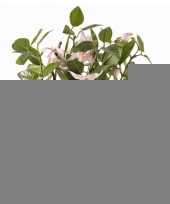 Feest fuchsia plant roze in pot 30 cm